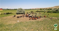 Meet Van Lith Ranch - A True Idaho Family Run Ranch with Spoiled Cattle Grazing the Banks of the Payette River