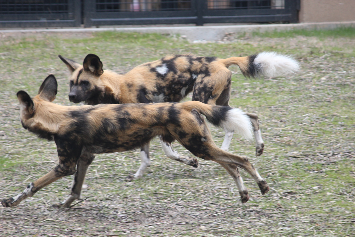 Zoo Boise African Wild Dogs