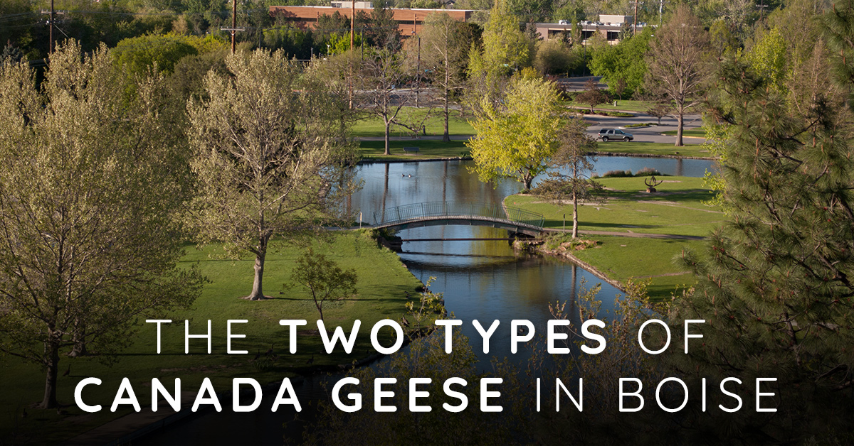Did you know There are Two Types of Canada Geese in Boise?